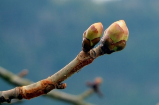 Buds Eager to Burst