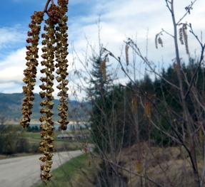 Catkins Waiting for a Breeze