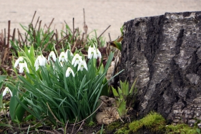 Clump of Snowdrops
