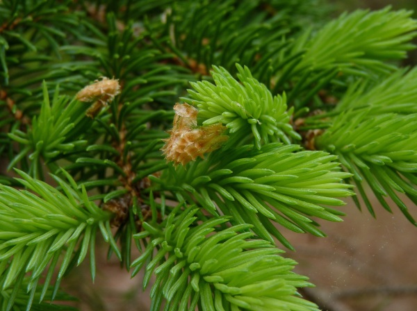 Young Shoots of Norway Spruce - Photo Credit: Dendroica on Flickr