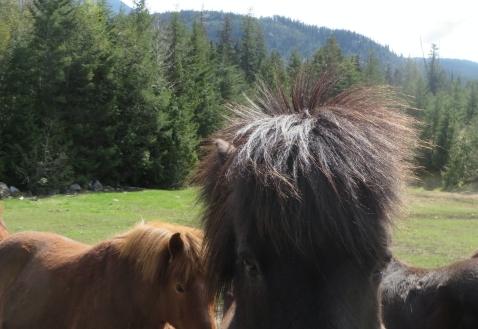 Horse's Hairy Head
