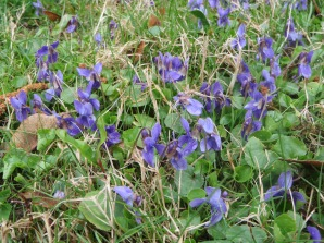 Wild Violets Spreading all over the Lawn in Early Spring