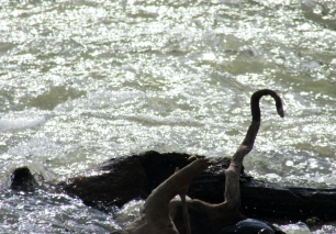 Wooden Snake in Raging Water