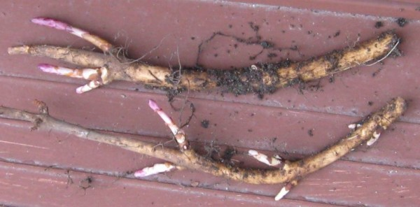 Hops Rhizomes Ready to be Planted