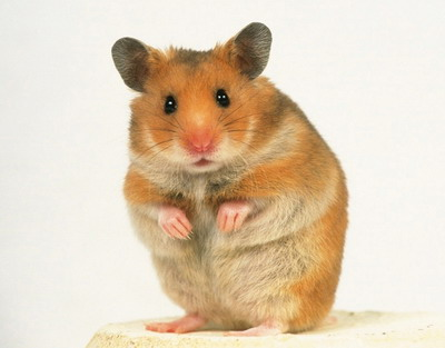 Golden Hamster - Photo Credit: petsplanetinfo.blogspot.com