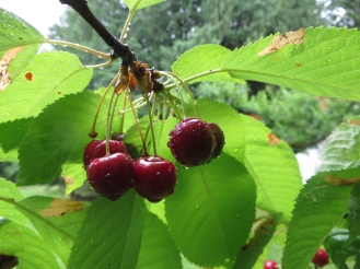 Cherries Ripening under Ideal Conditions Promising a Bumper Crop