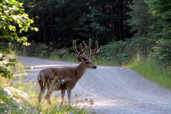 Buck with Antlers Illuminated by the Morning Sun in July
