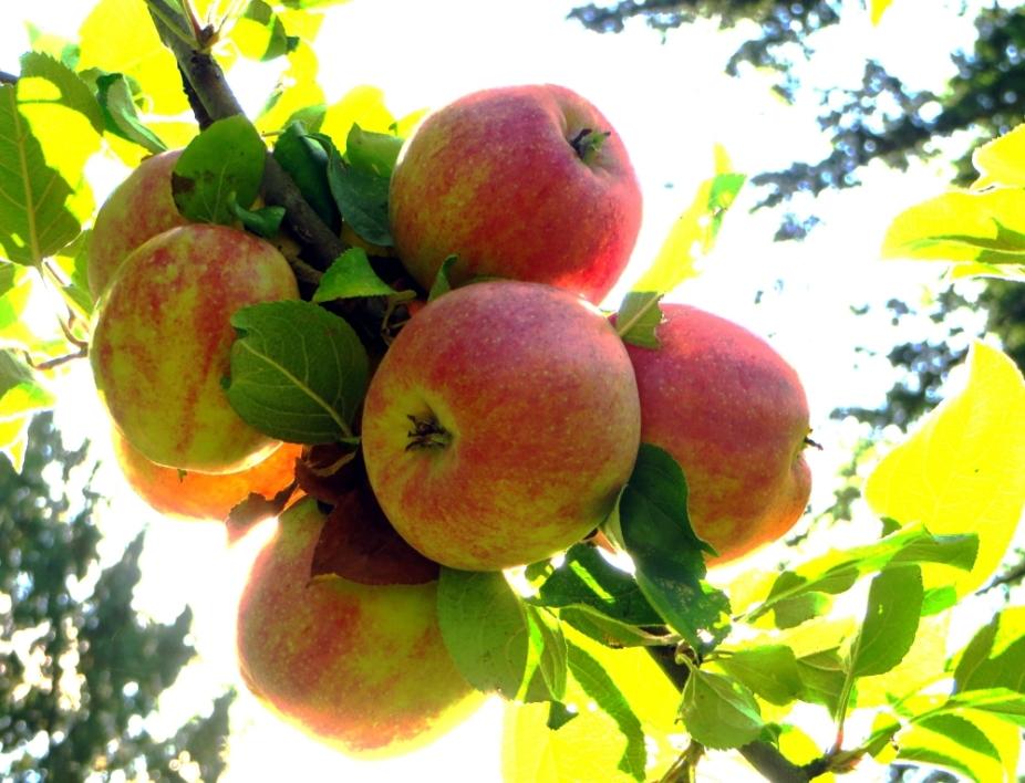 Gravenstein Apples ready for the Picking