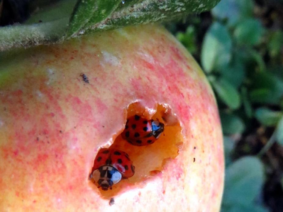 Ladybugs digging themselves a Fruitful Den