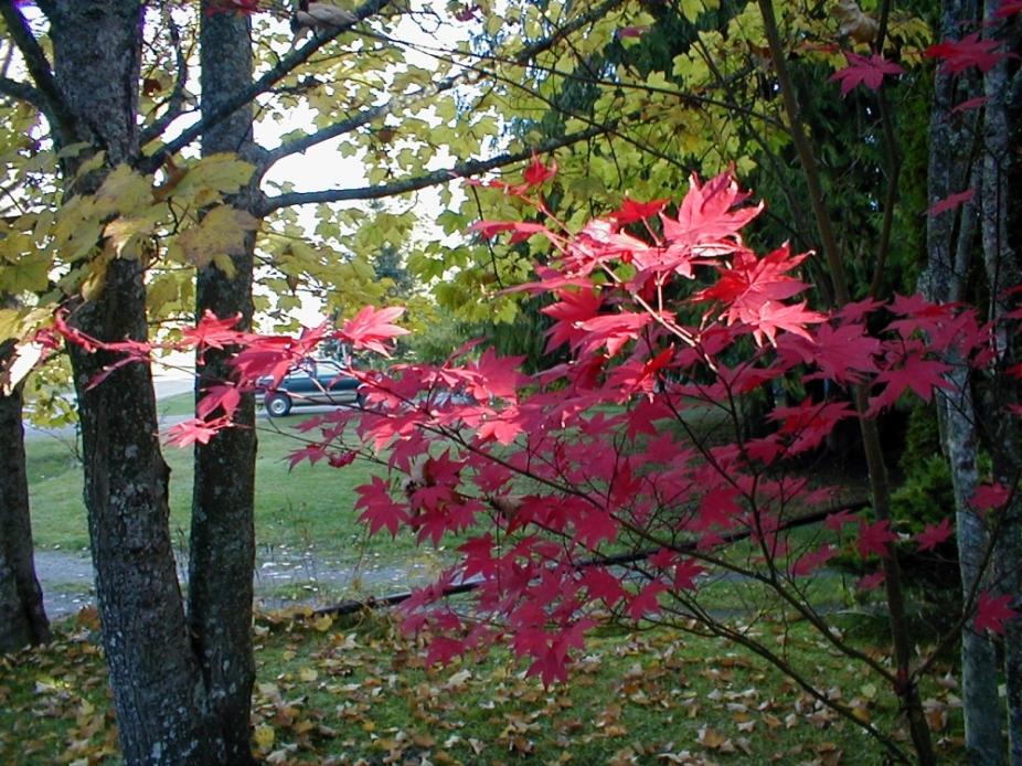 Ornamental Maple Tree in its Fiery Dress