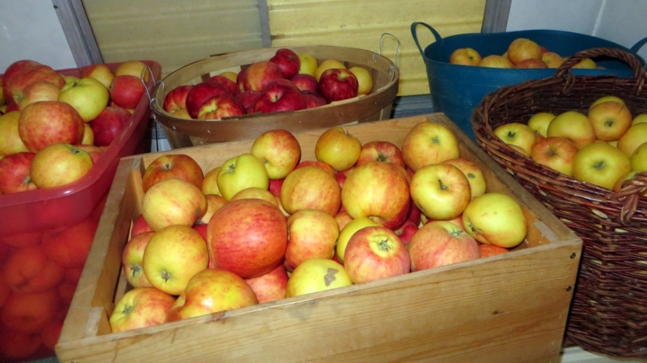 Boxes and baskets full of gravenstein apples are waiting to be dried.