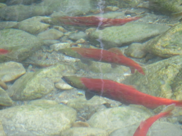 Kokanee spawning at Taite Creek