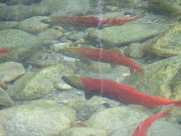 Kokanee spawning at Taite Creek