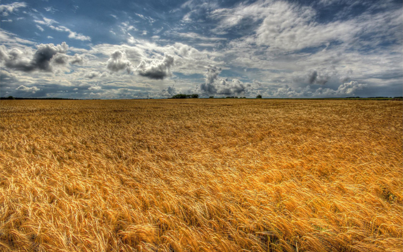 Eternal-golden-wheat-field.jpg