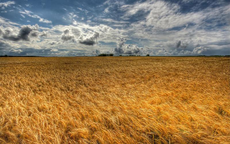 Eternal-golden-wheat-field.jpg
