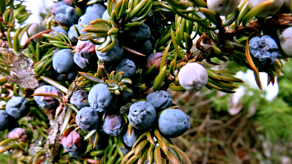 Berries for the Picking in the Dead of Winter