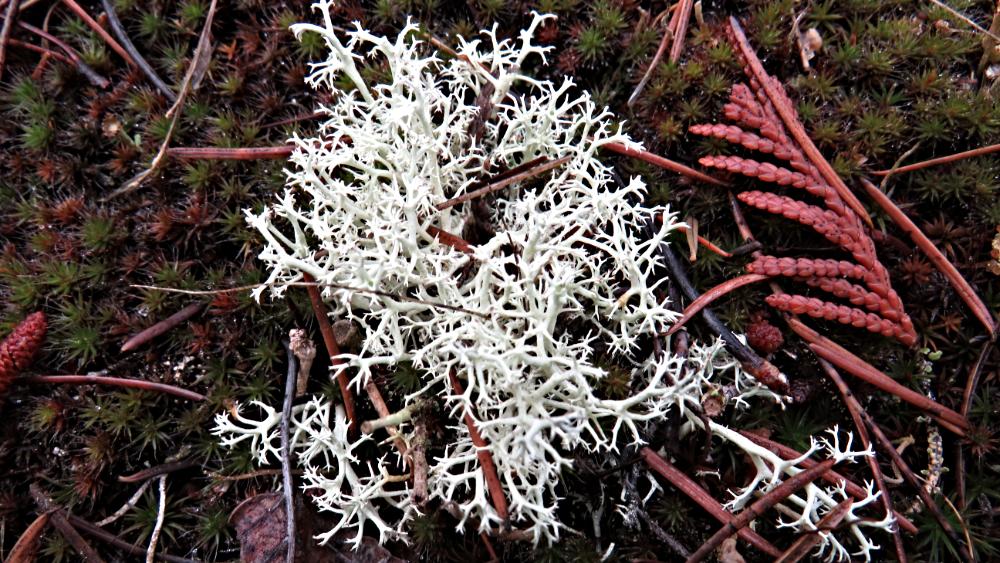 Delicate Ground Fungus