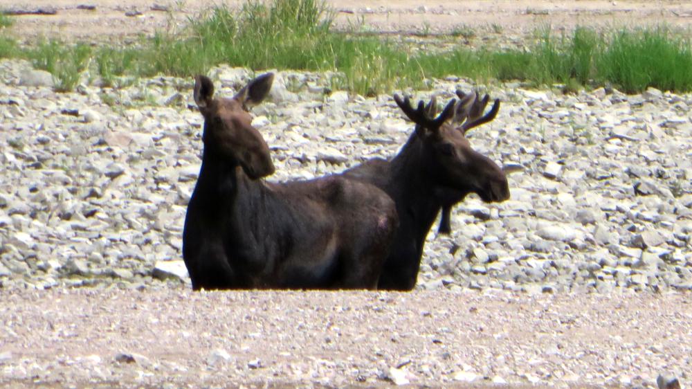Twin Moose