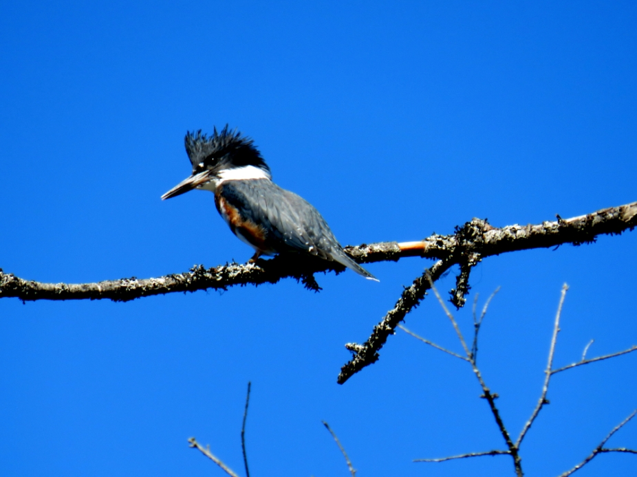 IMG_3827Kingfisher