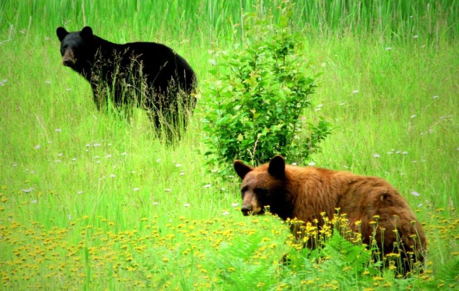 A-bears